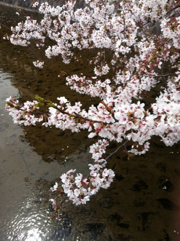 IMG_3057.jpg桜